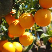 Free online flash games - Orange Tree Farm Escape game - WowEscape